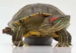 красновуха черепаха