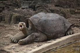 слонова черепаха