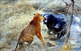 тигр и медвідь