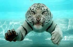 тигр у воді