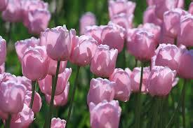рожевий колыр що означа