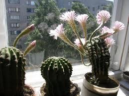 кактуси