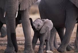 слон вік
